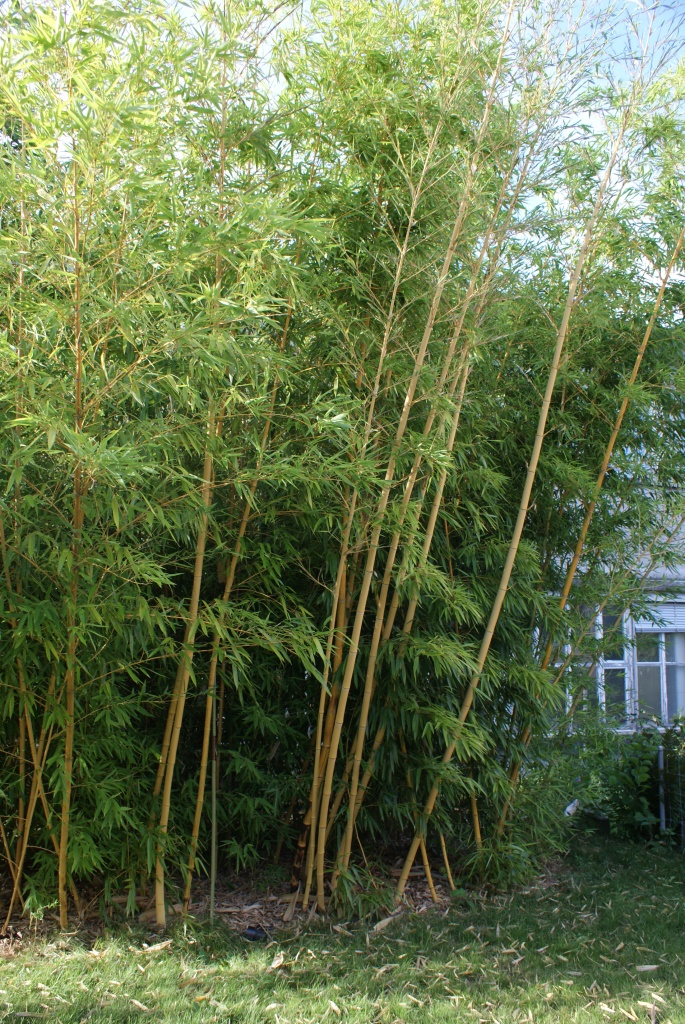 wiki bambus phyllostachys gr nlive gmbh. Black Bedroom Furniture Sets. Home Design Ideas