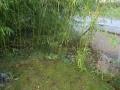 wuchernder Bambus.JPG
