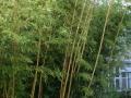 Bambus 03.jpg
