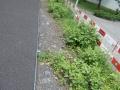 Staudenknöterich Wohlen 1.JPG